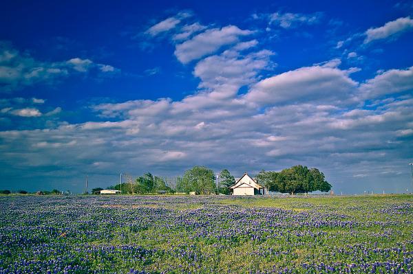 Little house in the field of bluebonnet.