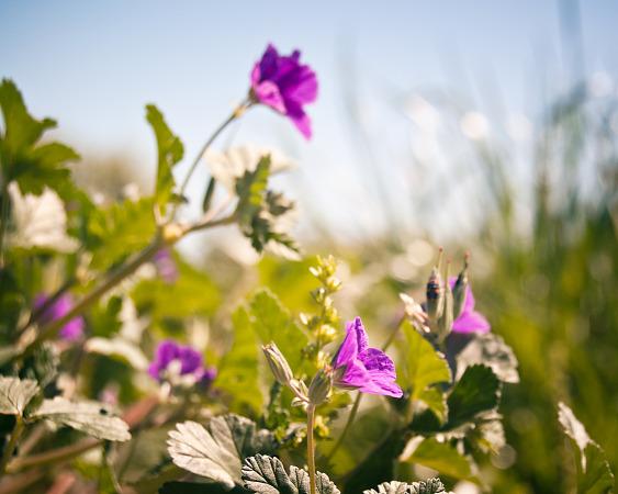 Purple wildflower in Pflugerville, Texas