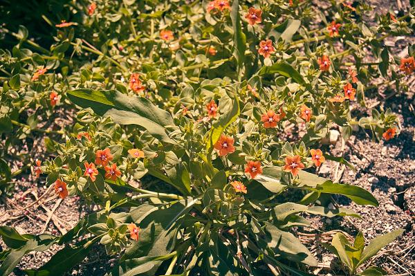 Scarlet pimpernel in Pflugerville, Texas