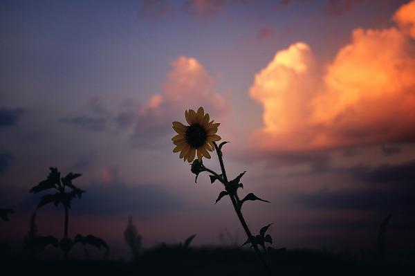 Sunset flower of Texas