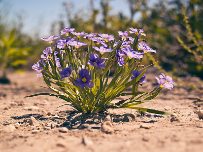 texas-flowers > Blue eyed grass in Pflugerville, Texas