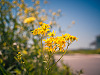 texas-flowers > Golden groundsel in Pflugerville, Texas