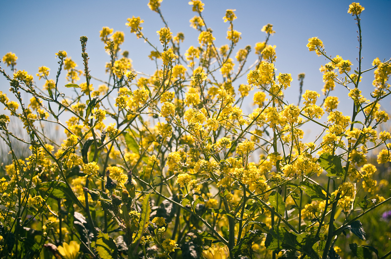 Translucent Flowers Of Annual Bastard Cabbage In Pflugerville Texas