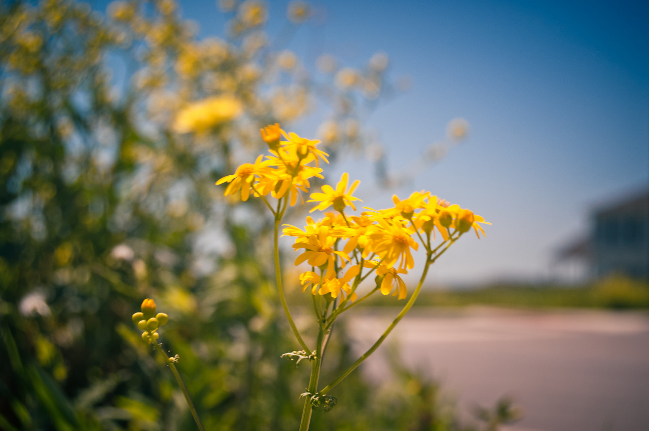 Golden groundsel in Pflugerville, Texas