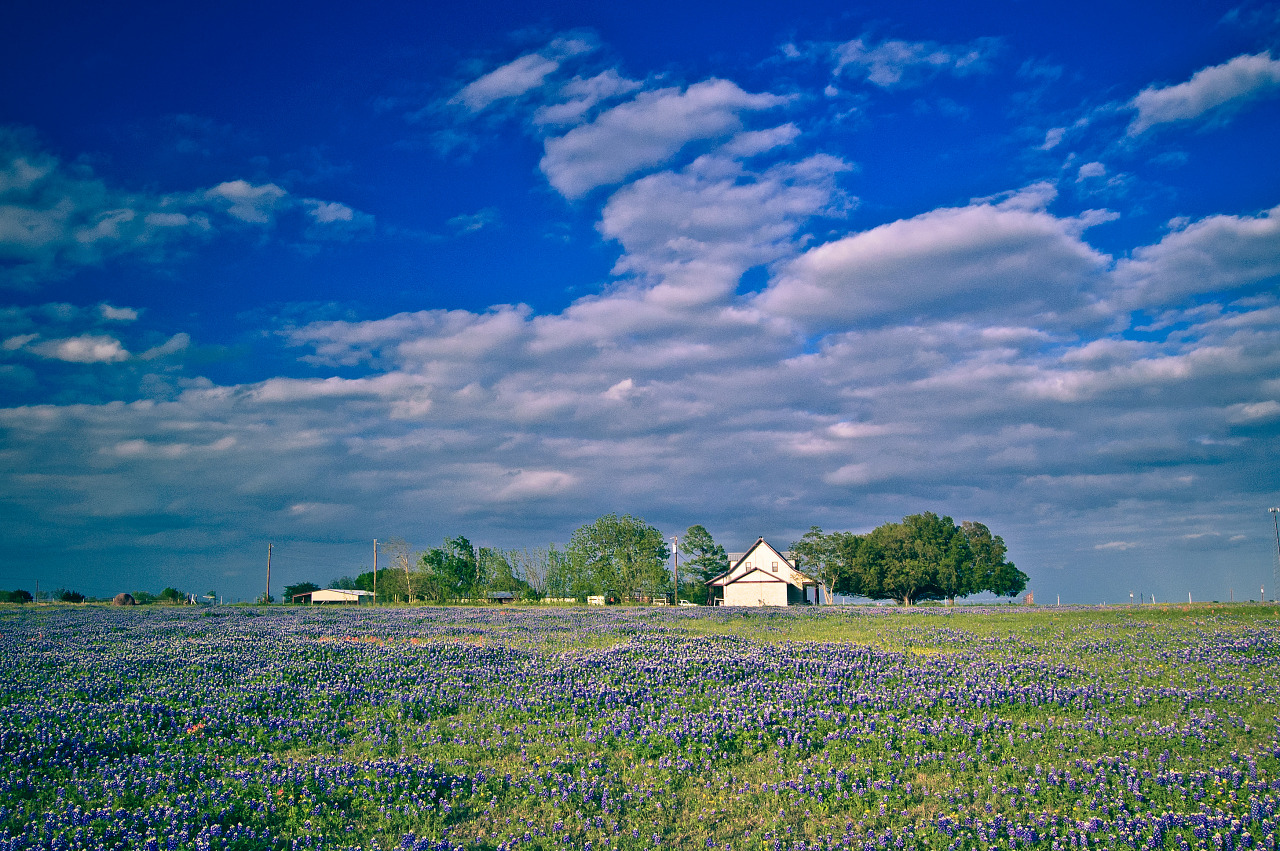 Little house in the field of bluebonnet.