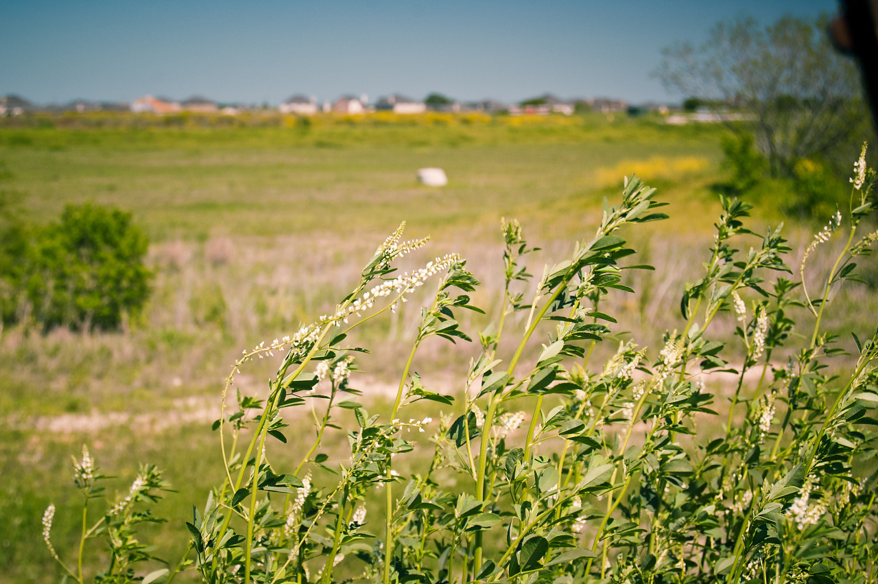 White sweet clover in Pflugerville, Texas