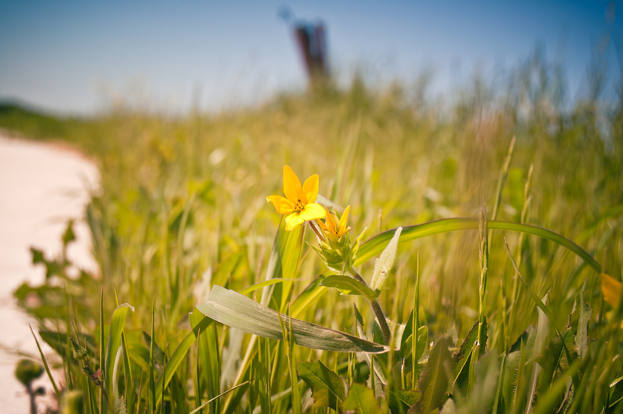 Yellow meadow beauty in Pflugerville, Texas