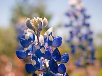 texas-flowers > Bluebonnet flower in Pflugerville, Texas