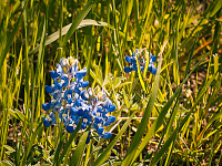 texas-flowers > Bluebonnet in grass in Pflugerville, Texas