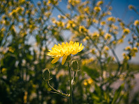 texas-flowers > Bright yellow texas dandelion in Pflugerville, Texas