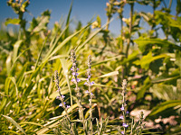 texas-flowers > Gray vervain in Pflugerville, Texas