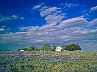 texas-flowers > Little house in the field of bluebonnet.