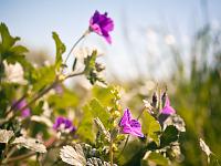 texas-flowers > Purple wildflower in Pflugerville, Texas