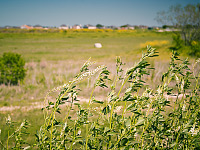 texas-flowers > White sweet clover in Pflugerville, Texas