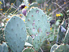 walnut-creek-park-austin > Prickly Pear