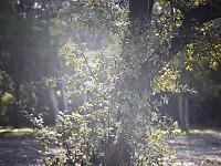 walnut-creek-park-austin > Park Tree