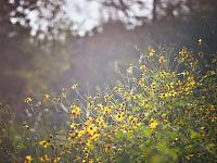 walnut-creek-park-austin > Yellow Flowers