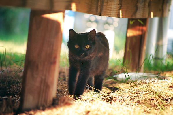 Weezie the black cat is strolling under the wood panel