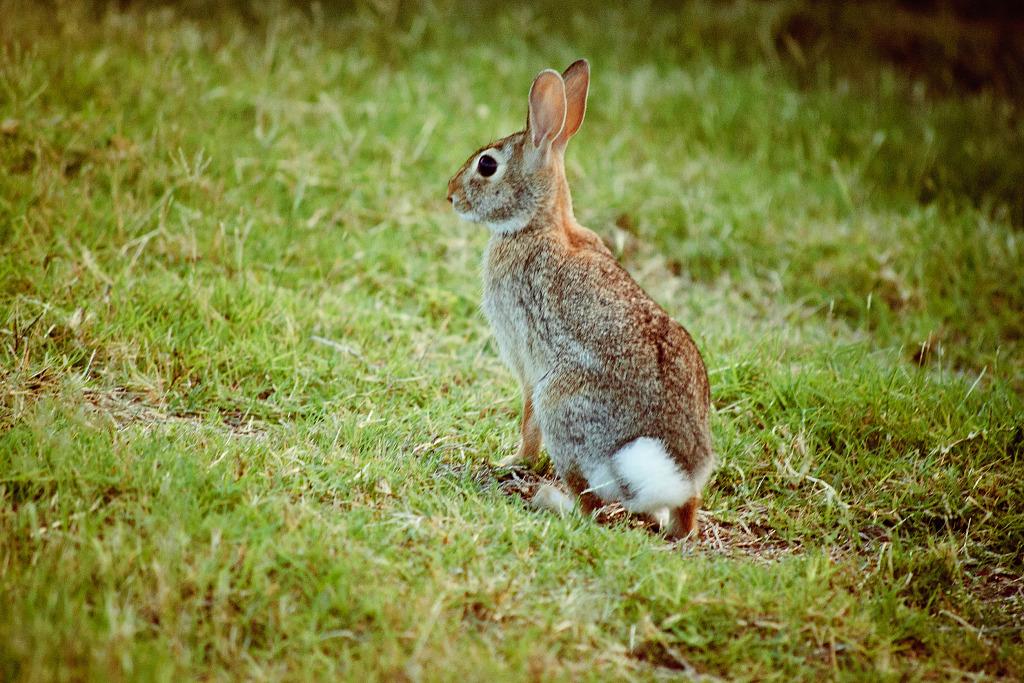 Wild Backyard Animals :  standing alert in our Texas backyard  Gr?gory Massal Photography