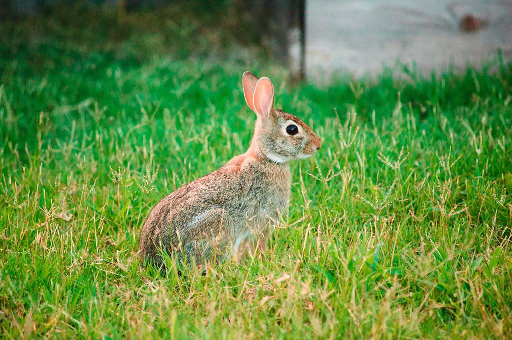 Wild Backyard Animals : wildanimals > Rabbit showing its best profile at sunset
