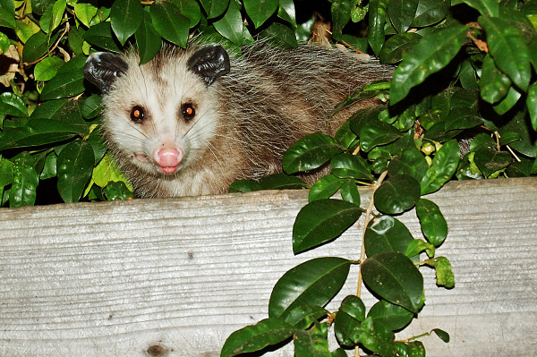 Possum on our garden fence