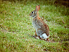 wild-animals > Young cottontail standing alert in our Texas backyard