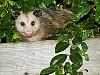wild-animals > Possum on our garden fence