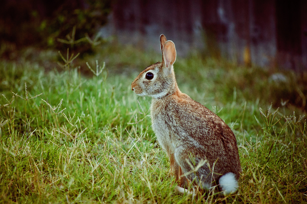 Cottontail rabbit sitting in the sunset on the grass