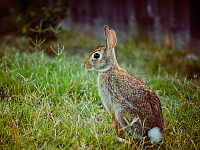 wild-animals > Cottontail rabbit sitting in the sunset on the grass