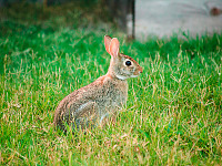 wild-animals > Rabbit showing its best profile at sunset